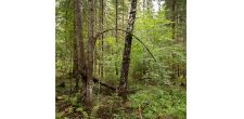 Metsä Group recommends nature management as a primary approach for herb-rich forests
